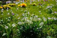 生长在草丛中小巧洁白的雪花莲桌面壁纸