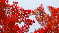 秋天给世界带来温柔的红枫叶电脑壁纸