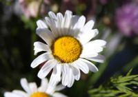 纯洁无瑕的白色雏菊花高清桌面壁纸