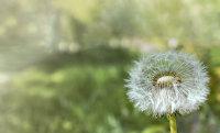 在草丛中顽强生长的纯白蒲公英高清电脑壁纸