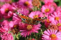 在斑斓花朵中忙碌着的孔雀蝴蝶超清电脑壁纸