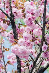 春天压弯枝头的粉色樱花高清桌面壁纸