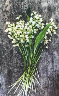 清晨挂着露珠的白色铃兰高清桌面壁纸
