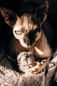 长相奇特性格温顺的无毛猫精美图集