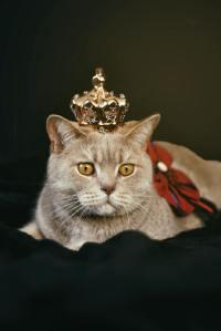 温顺亲人的英国短毛猫精美图集