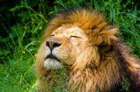在荒原中找寻猎物的霸气雄狮高清桌面壁纸