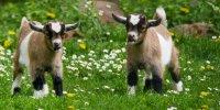草原上活泼可爱的山羊高清桌面壁纸