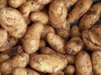 新鲜采挖的营养土豆高清素材图片