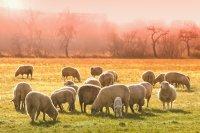 广阔草原上毛茸茸的雪白绵羊高清桌面壁纸