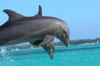 湛蓝的海面上畅游跳跃的乖巧海豚电脑壁纸