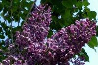 温暖阳光喜爱香气怡人的紫丁香电脑壁纸