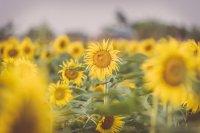向阳生长的向日葵高清宽屏桌面壁纸
