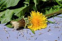 花园和田埂间顽强盛放的黄色蒲公英高清桌面壁纸