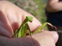 繁茂枝叶间停驻着的迅猛螳螂精美图集