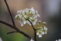 晋州梨花公园盛放的梨花高清桌面壁纸