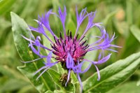 阳光下散发清香的紫色矢车菊壁纸大全