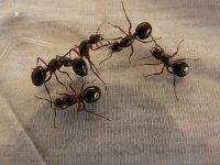 渺小却勤劳的蚂蚁微距摄影图片