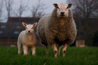 温驯呆萌的绵羊精美图集