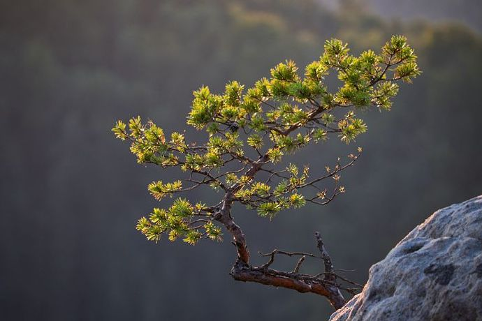 pine-5541335__480