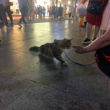 第一次看到遛猫的 缅因猫 看着就很贵