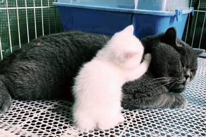 萌宠图片朋友的猫,生了一个雪白的娃儿...-萌宠