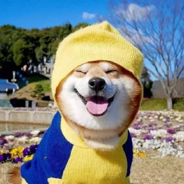 萌宠图片笑容治愈的小柴犬,行走的小飞侠!-萌宠