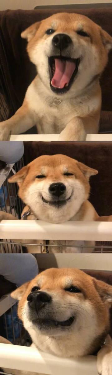 萌宠图片柴犬 Hana-萌宠