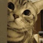 趴在门边偷看的美国短毛猫gif动态图片