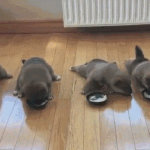 癞皮狗抢着吃食物gif动态图片