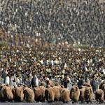 【动植物】南乔治亚岛20万帝企鹅大聚会依偎取暖[19P]