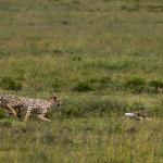 【动植物】桑尼亚草原上演猎豹捕杀野兔惊心场面[7P]