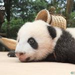 背着小背篓的可爱小熊猫图片